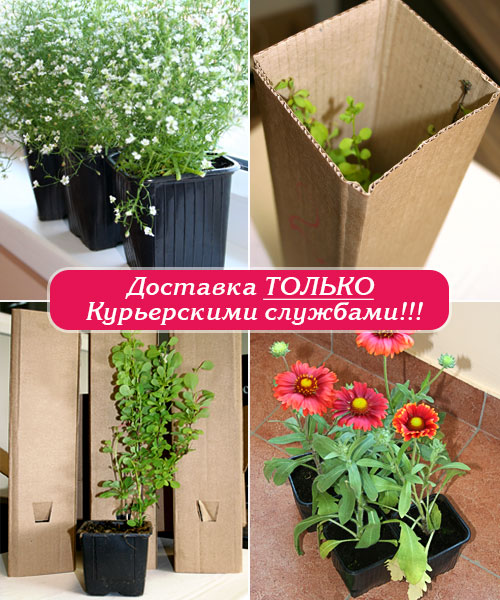 https://gardencatalog.ru/leto/category/mnogoletniki-v-gorshkakh/